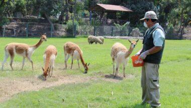 El Parque de las Leyendas de Lima te invita a conocer una de las más hermosas especies por el Día Nacional de la Vicuña